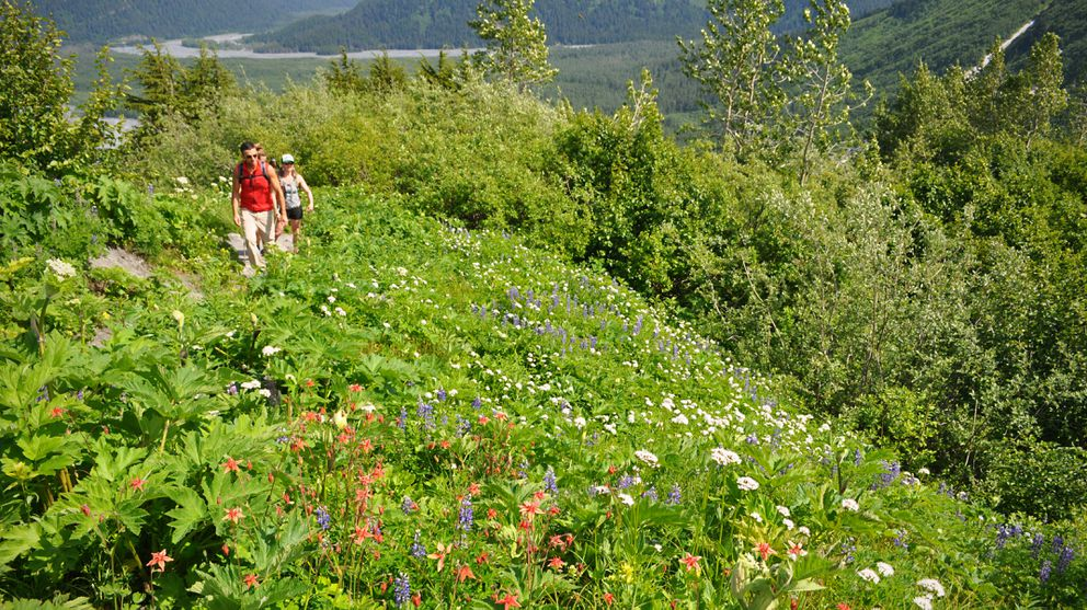 Matt Levy of Port Angeles, Wash., leads hikers to Marmot Meadows, about 1.4 miles up the Harding Icefield Trail, on July 2, 2016. (Vicky Ho / ADN archive)