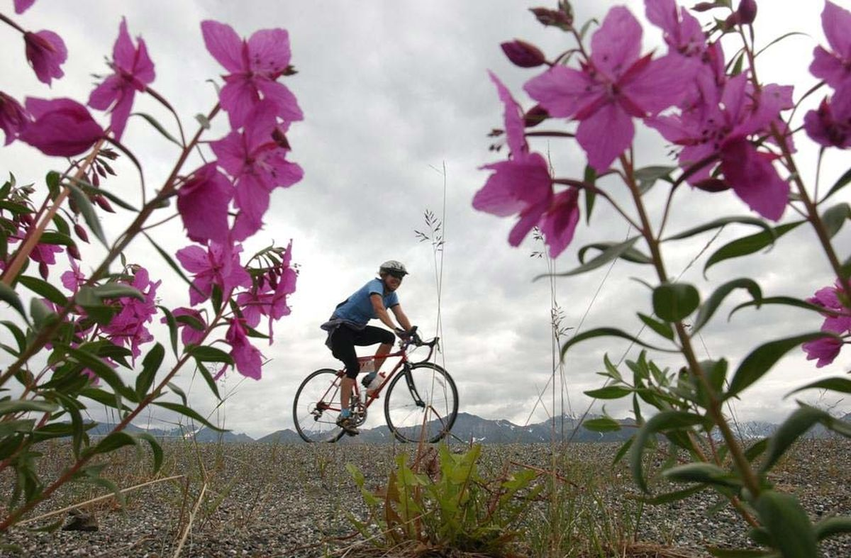 Dwarf fireweed frames a rider on the Glenn Highway during the 2006 Fireweed. (Erik Hill / ADN archives)