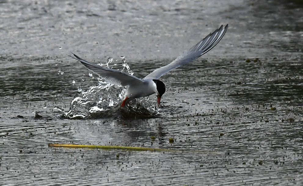 An Arctic tern rises out of the water of Potter Marsh along the Seward Highway. (Bob Hallinen / Alaska Dispatch News)