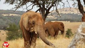 Maggie, the Alaska Zoo's old elephant, is loving retirement