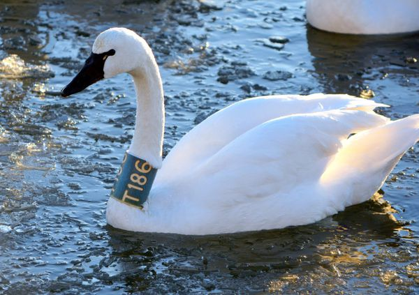 Julia, tundra swan T186, has wintered in Annapolis yearly since 2006. (Ann Cameron Siegal)