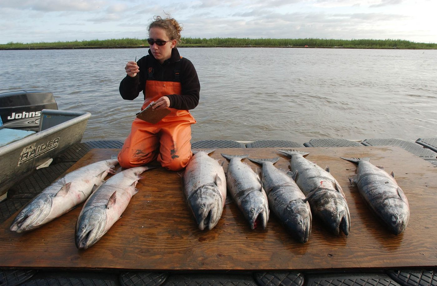 Maureen Horne-Brine collects fish scales from king salmon caught in the Alaska Dept. of Fish and Game test fishery near Emmonak on June 20, 2005. The scales will be used to determine the age the fish. She was helping fishery biologist Larry DuBois conduct a study of Ichthyophonus, a disease first noticed in some Yukon River fish in the late 1980s.