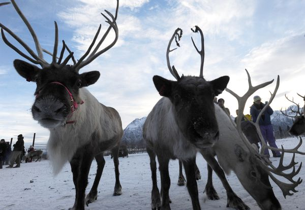 Christmas Eve at the Reindeer Farm in Butte. (Bill Roth / ADN)