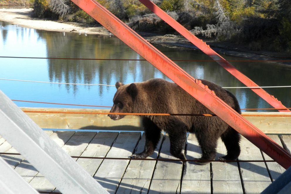 A bear crosses the historicbridge near Pile Bay. (Ray Williams)