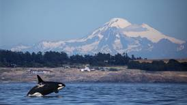 Decline of salmon adds to the struggle of Puget Sound's orcas
