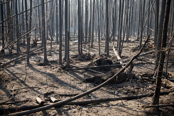 Burned black spruce surround many roads in the Willow area. Four hundred firefighters worked to contain the Sockeye Fire in the Willow area on Tuesday, June 16, 2015. The area remains evacuated and access to the Parks Highway is limited. (Marc Lester / Alaska Dispatch News)