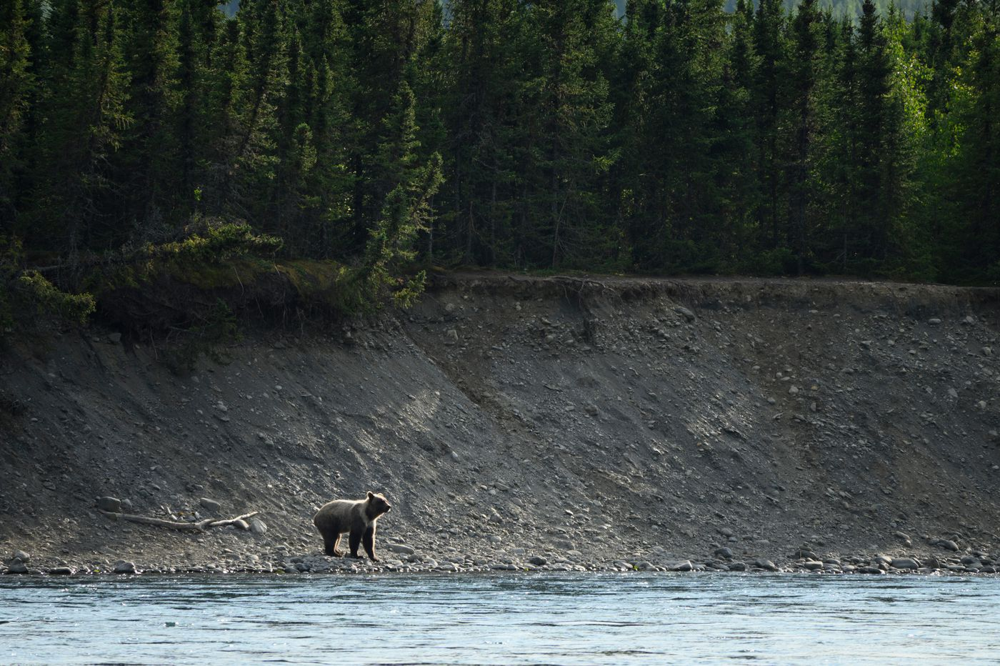 A brown bear yearling ran back and forth along the south bank of the Kenai River on July 30, 2020. People fishing at the time moved away as the bear approached. (Marc Lester / ADN)