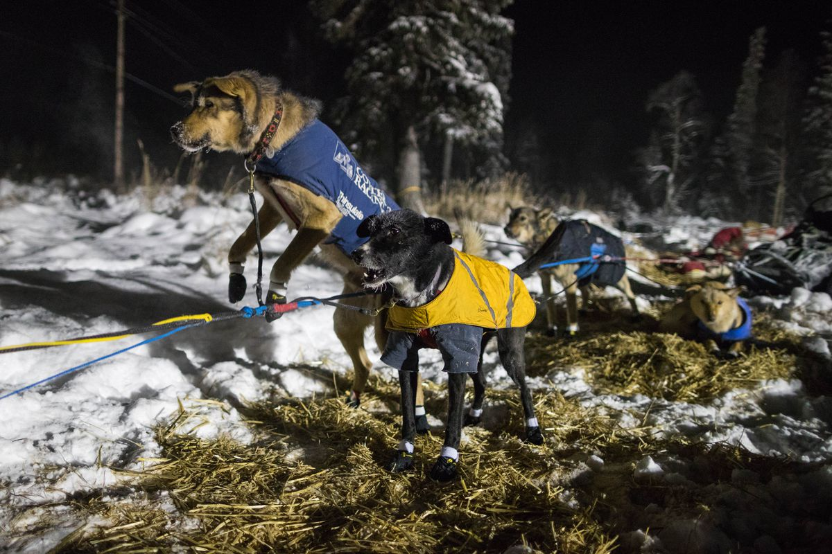 Jessie Holmes' dogs jump in anticipation before they leave the Kalskagcheckpoint during the Kuskokwim 300 sled dog race earlier this season. Holmes was the surprise winner of the season-ending Kobuk 440 over the weekend. (Loren Holmes / Alaska Dispatch News)