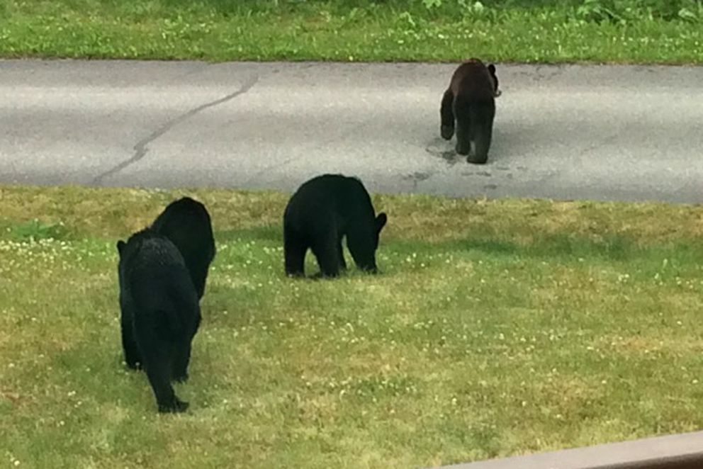Black bears ate clover and other foods in a yard near Goldenview Middle School on Friday. (Photo by Beverly Burns)