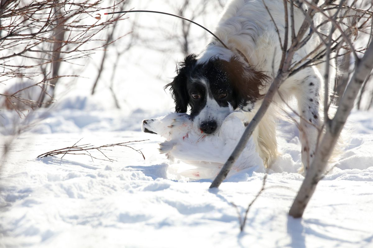 Winchester momentarily forgets he does not retrieve and picks up a rock ptarmigan he had pointed, which he subsequently set back down. (Photo by Steve Meyer)