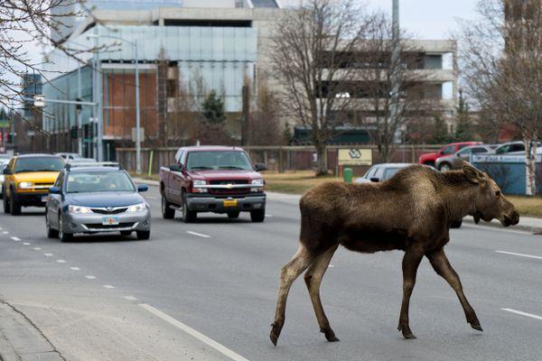 A moose crosses C Street in Midtown Achorage on April 30, 2018. (Marc Lester / ADN)