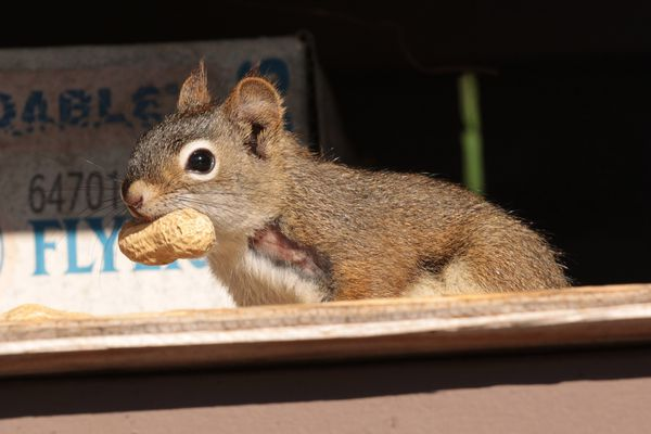 """One of our squirrel """"family"""" has a nasty injury on his shoulder. We're glad he is on the mend. Photographed July 2021. (Photo by Steve Meyer)"""