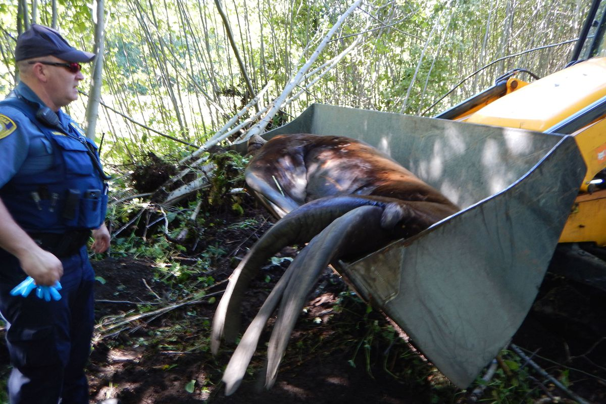 A sea lion that had been on land in Sitka for four days was transported in a front-end loader back to water after being darted, Sept. 3, 2018. (NOAA photo)