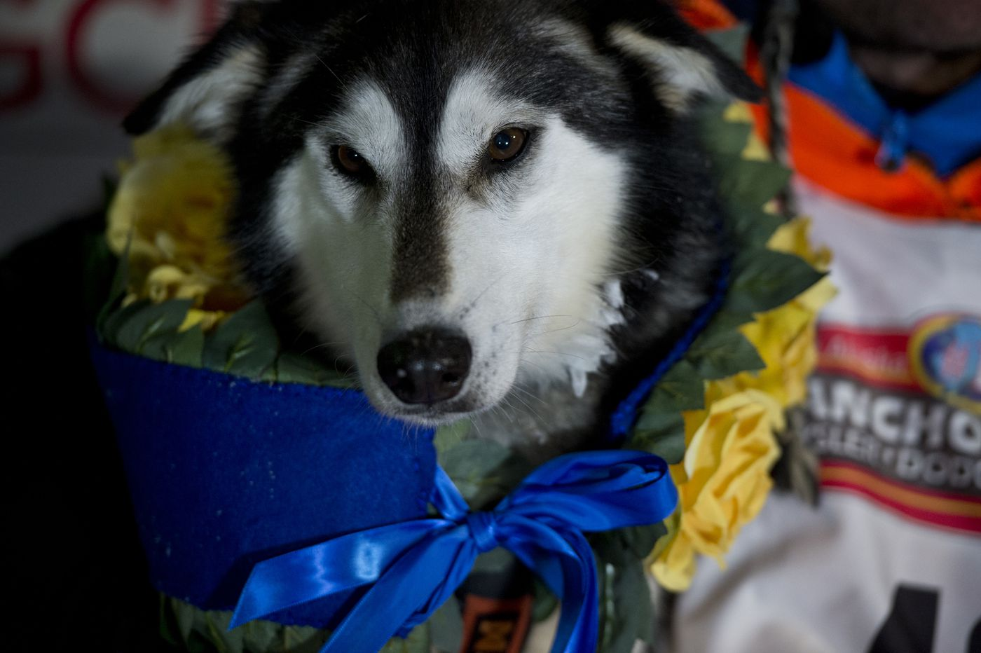 K2, one of Thomas Waerner's leaders, wears the garland of yellow roses in Nome. Thomas Waerner holds his lead dogs K2 after he won the Iditarod Trail Sled Dog Race on March 18, 2020. (Marc Lester / ADN)