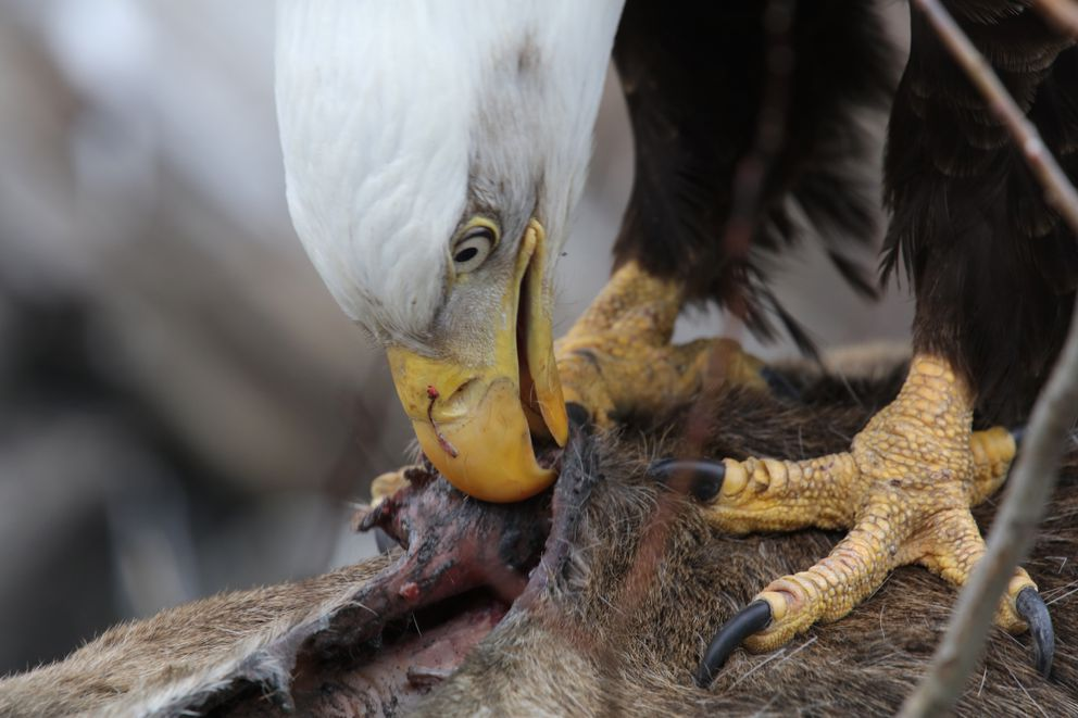 Bald eagles are formidably equipped to dismantle a winter kill moose. (Photo by Steve Meyer)