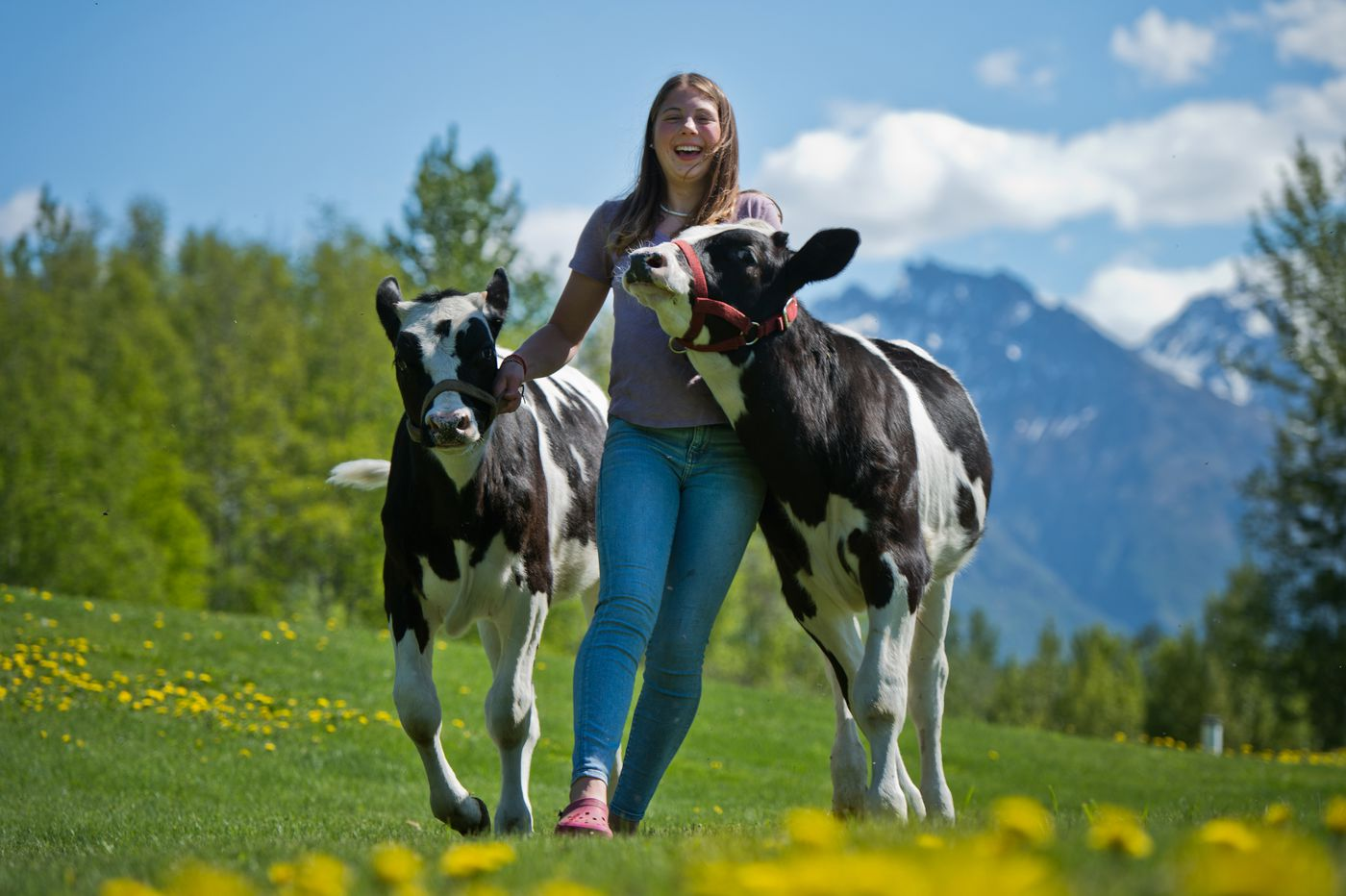 MAY 28. Olivia Beck, 15, holds on to her cattle Finn, left, and Forest at her home in Palmer. The calves would've shown in the young beef competition at the Alaska State Fair, she said. The fair was cancelled due to the pandemic. (Marc Lester / ADN)