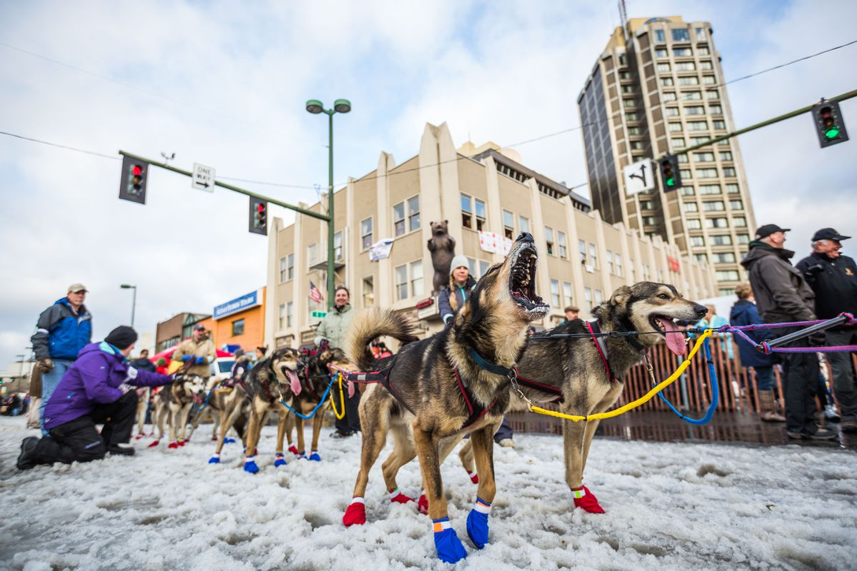 Dogs in Mitch Seavey's team howl in anticipation of the ceremonial start of the Iditarod Trail Sled Dog Race in Anchorage on March 7, 2015. (Loren Holmes / Alaska Dispatch News).