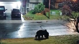 Brown and black bears are still awake in the Anchorage area, biologists warn