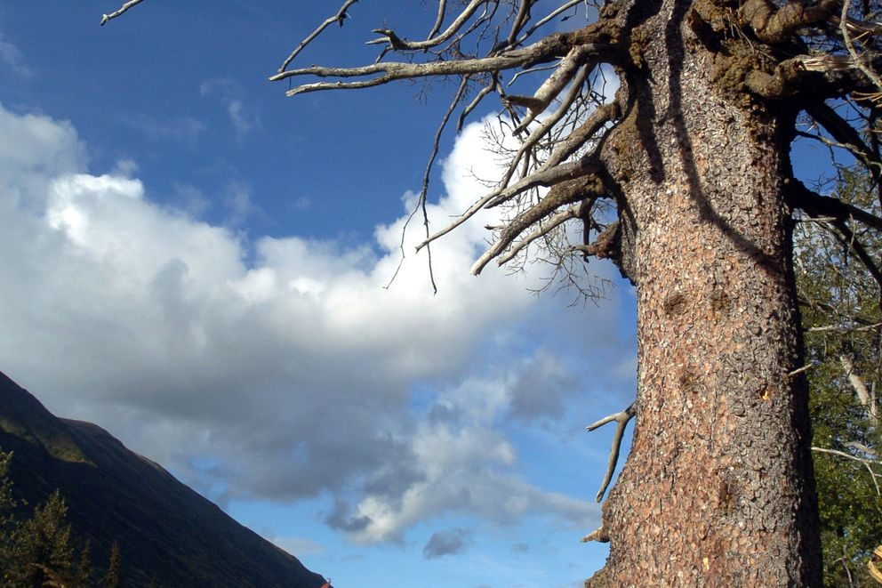 A spruce tree, dead from a spruce bark beetle attack, stands at the side of the Seward Highway a few miles south of Turnagain Pass, Sept. 7, 2005. (Marc Lester/ADN archive 2005)