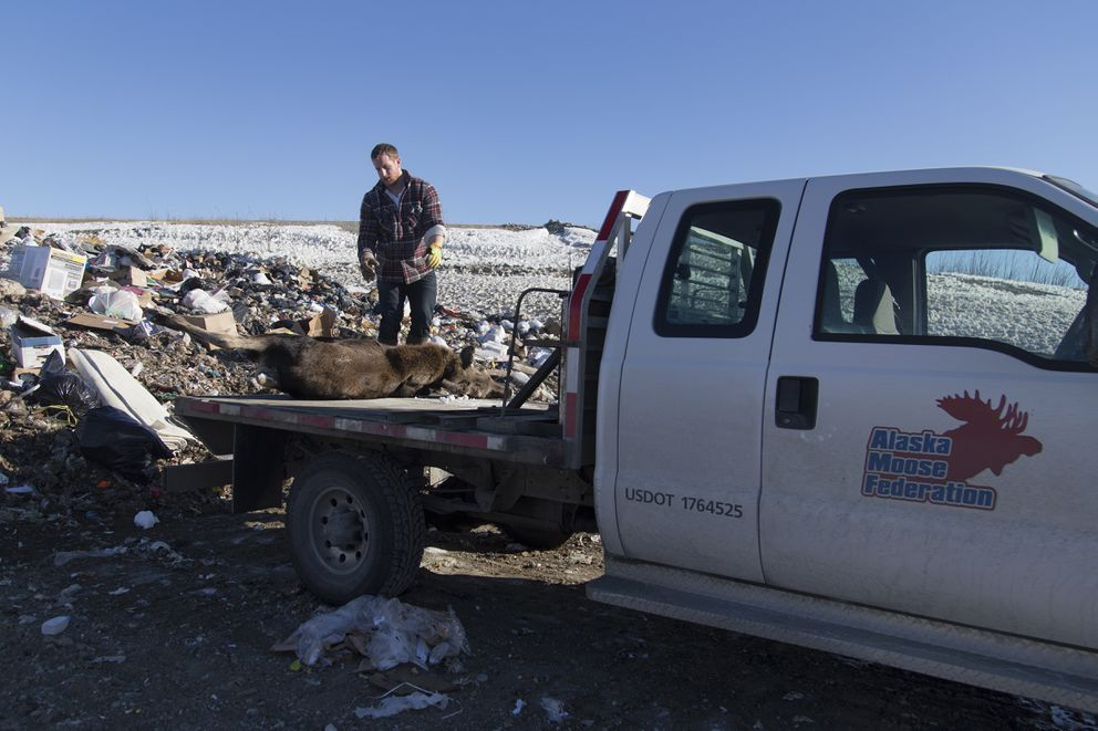 Steve Dyer prepares to takea moose calf off the truck on March 25 in Palmer. In order to prevent eagles and other predators from accessing the carcass, trash will be placed on top and compacted down at the Matanuska-Susitna Borough landfill. (Rugile Kaladyte / Alaska Dispatch News)