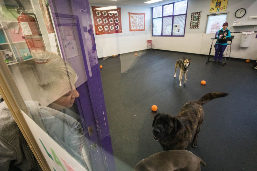 Kari Campbell, owner of Dog Tired Doggie Daycare, checks in with a group of large dogs at the kennel on Jan. 11. (Loren Holmes / ADN)