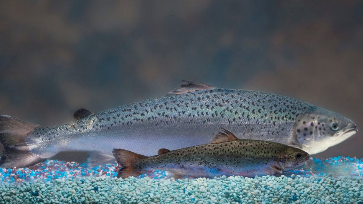 The genetically modified salmon grows faster than a conventional Atlantic salmon of the same age.(AquaBounty photo)