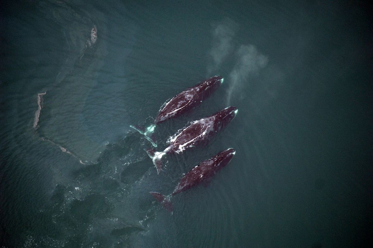 Bowhead whales rise to the surface while feeding. Among Alaska's marine mammals, bowheads are the most vulnerable to increased shipping traffic in the Arctic, a new study concluded. (Photo by Cynthia Christman, National Marine Fisheries Service)
