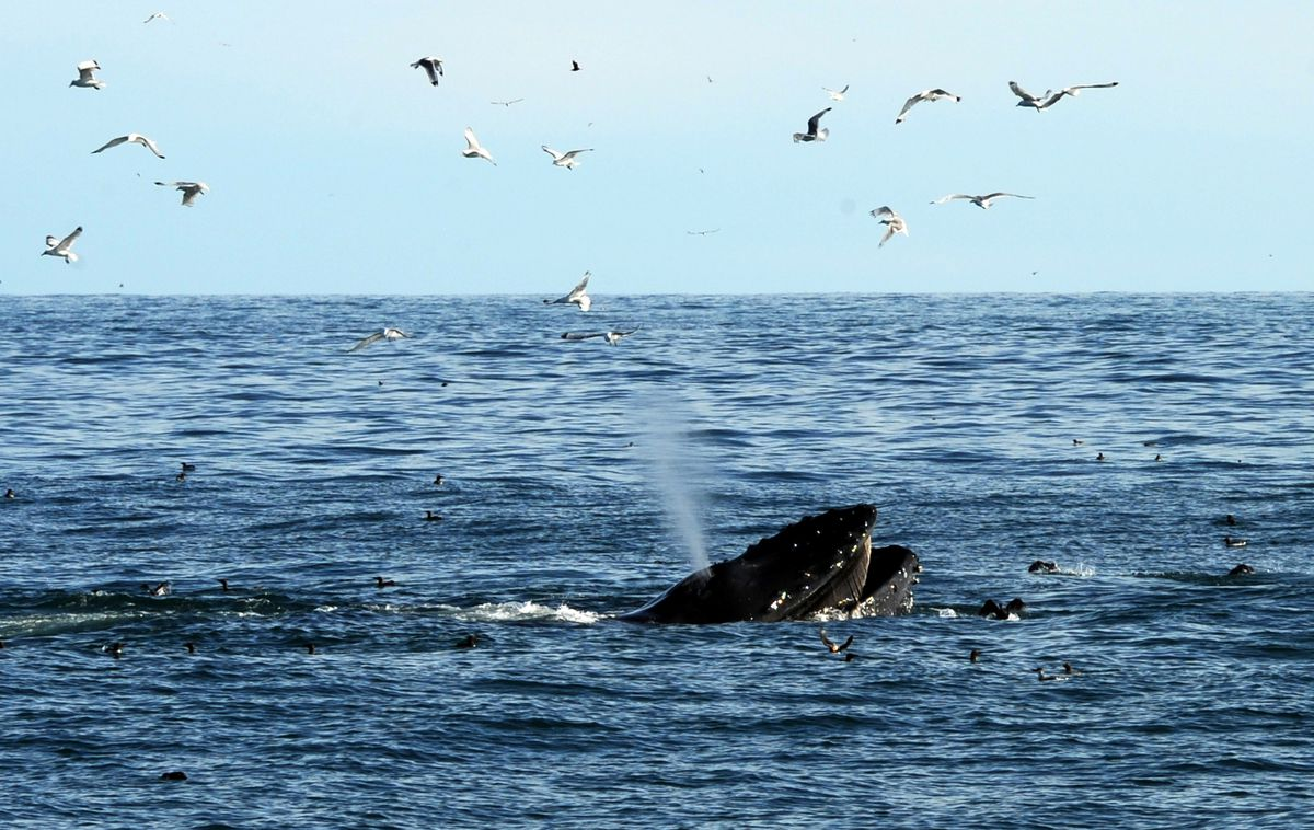 A humpback whale surface feeds in the company of opportunistic kittiwakes at the mouth of Resurrection Bay near Seward. (Erik Hill / ADN archive 2014)