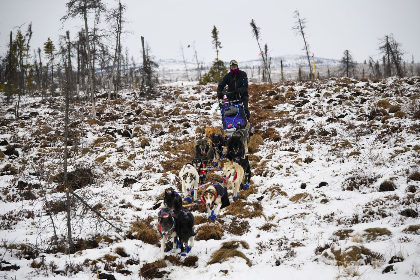 Jessie Royer crosses tussocks as she approaches the ghost town checkpoint of Iditarod on March 7. (Marc Lester / ADN)