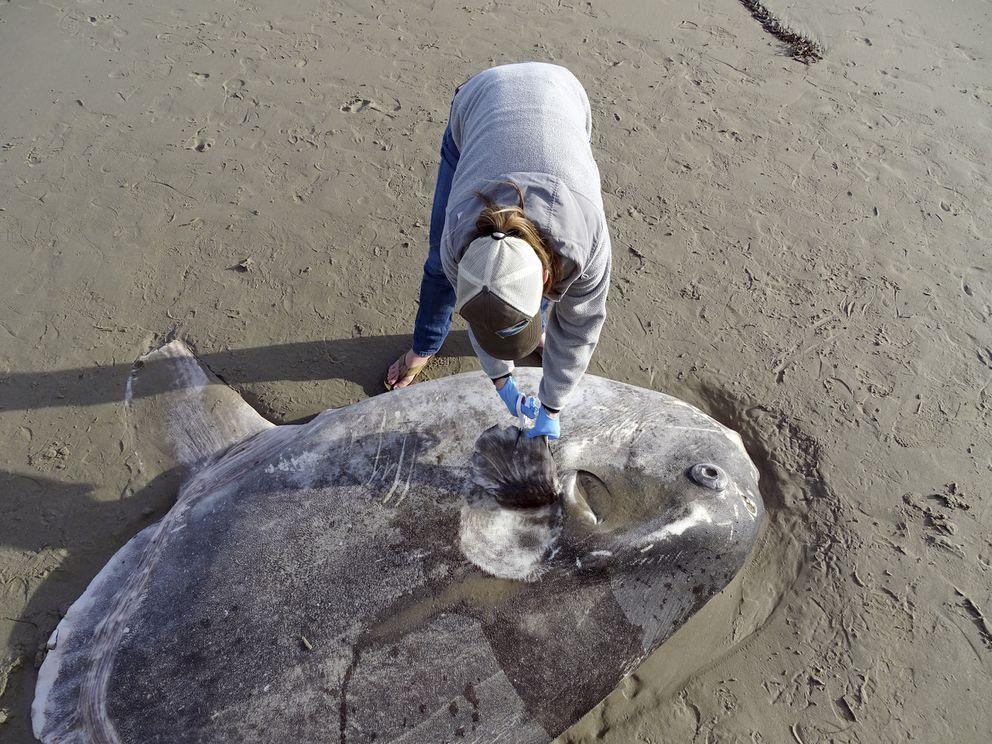 In this Feb. 21, 2019 photo, provided by UC Santa Barbara, Jessica Nielsen, a conservation specialist, examines a beached hoodwinker sunfish at at Coal Oil Point Reserve in Santa Barbara, Calif. (Thomas Turner, UC Santa Barbara via AP)