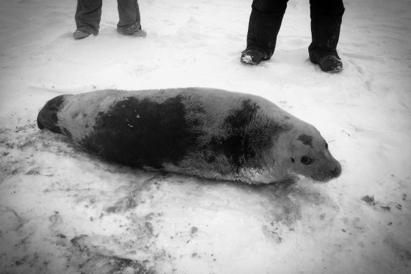 This bearded seal was released back into the wild at Nome's west beach on Saturday, Dec. 19, 2015.