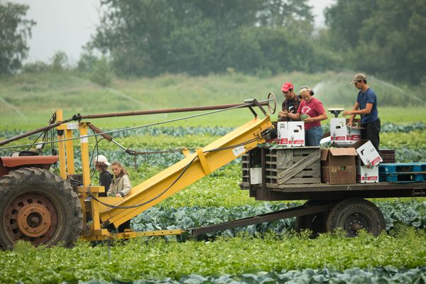Workers pick broccoli on Thursday, July 11, 2019 at VanderWeele Farms in Palmer. (Loren Holmes / ADN)