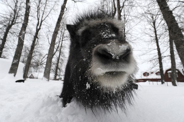 A musk ox named Artemis comes in for a closer look while at his new at the Alaska Wildlife Conservation Center on Monday, Feb. 3, 2020. (Bill Roth / ADN)