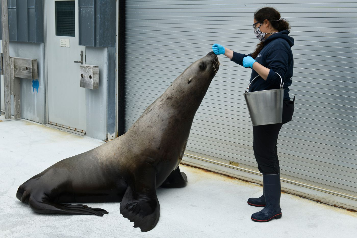 Mammalogist Evelyn Lentz does a daily assessment of Forrest, a 6-year-old male Steller sea lion, on July 6, 2020, at the Alaska SeaLife Center. The sea lion was part of a study, now concluded, that examined maternal behavior in an effort to research a population decline in the wild. (Marc Lester / ADN)