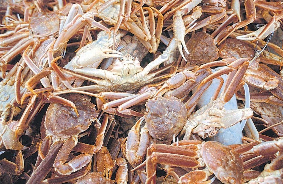 Crab comeback in Kachemak Bay - Anchorage Daily News