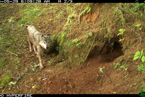 Photo courtesy of U.S. Forest Service Biologists are using new techniques to study wolf populations, including those on Prince of Wales Island in Southeast Alaska.