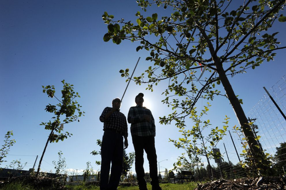 Paul Lariviere and Steve Gerlek look at a Haralson, one of the 40 varieties of apple tree growing at the Government Hill Commons and community orchard. The orchard has 10 varieties of pear trees and nine cherry trees, and organizers are growing apricots, peaches, grapes and plums at the northernmost community orchard in North America. (Bill Roth / ADN)