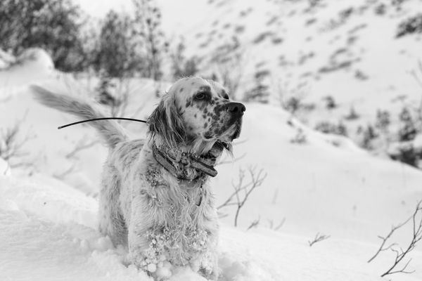 Hugo takes in the fresh air while chest deep in snow in the Kenai Mountains. (Photo by Steve Meyer)