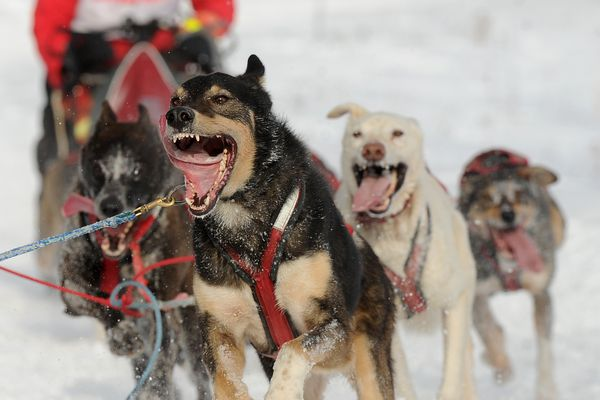 John Erhart drives his dog team through the Alaska Native Health Campus during the second day of the 2018 Fur Rendezvous Open World Championship Sled Dog Race in Anchorage, AK on Saturday, Feb. 24, 2018. Erhart finished day 2 in second place behind Buddy Streeper. (Bob Hallinen / ADN)