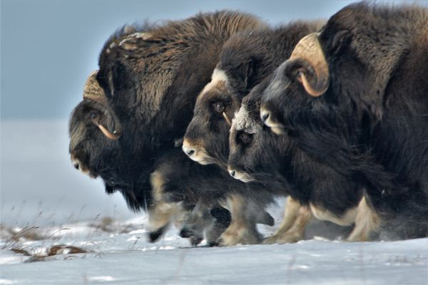 Musk oxen, massive mammals that live on Arctic tundra. Joel Berger, a wildlife biologist at Colorado State University, has studied musk oxen in Alaska for nearly a decade; he and colleagues are reporting that the animals are dwindling, unexpectedly vulnerable to rapid climate change in the Arctic. (Joel Berger via The New York Times)