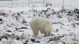 Forging uneasy peace between polar bears and one Arctic hamlet