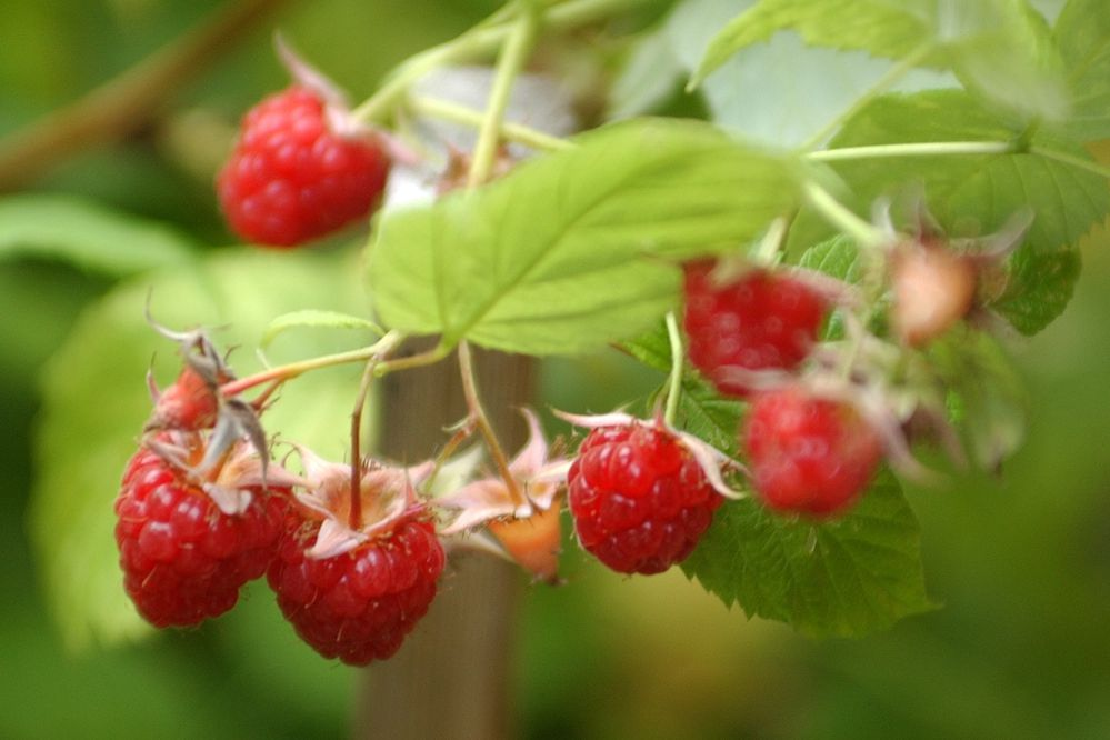 Raspberries on the vine, Aug. 2007. (Fran Durner / Anchorage Daily News)
