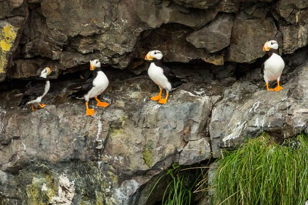 OPINION: By pursuing priorities that seek to overturn wildlife and habitat protections and to squelch input from local Alaskans, Gov. Parnell has shown contempt for Alaska's extraordinary spirit of bi-partisan stewardship. Pictured: Perching Puffins on a cliff above Resurrection Bay.