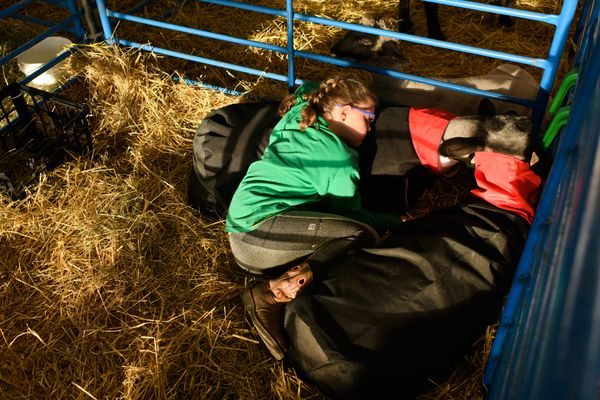 Isabella Pratt, 9, snuggles her Hampshire/Suffolk sheep, Jouster, top, and Mia. (Marc Lester / ADN)