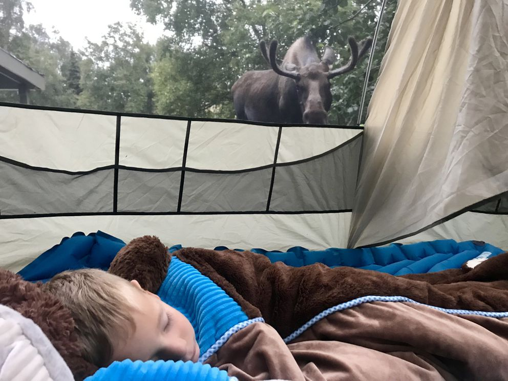 A bull moose sniffs 3-year-old Miles Predeger as he sleeps in a tent pitched on an Oceanview neighborhood lawn. (Photo by Hannah Predeger)