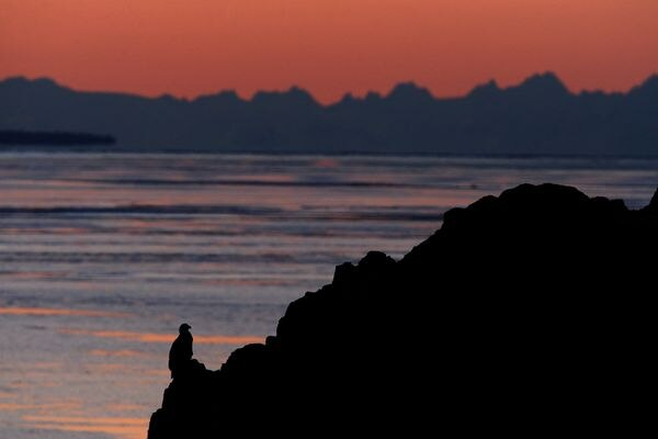 A bald eagle perches on a rock outcropping along Turnagain Arm and the Seward Highway at sunset with the mountains across Cook Inlet on the horizon on Wednesday, January 21, 2015. (Bob Hallinen / ADN)