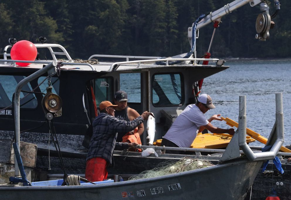 A farm-raised, escaped Atlantic salmon is transferred to Jay Julius' boat off Cypress Island. (Alan Berner/Seattle Times/TNS)