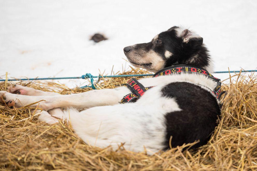 Driver, a dog in Aliy Zirkle's team. (Loren Holmes / ADN)