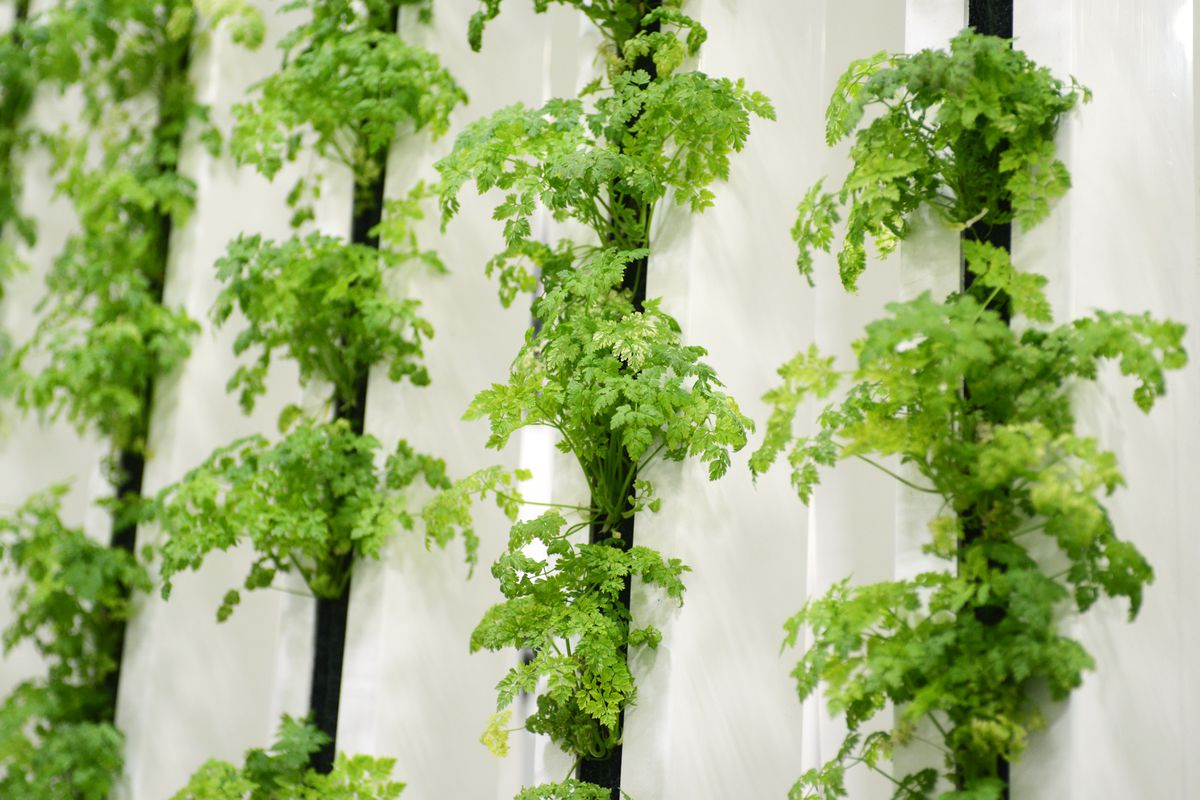 Chervil, also known as French parsley, awaits thinning at Alaska Seeds of Change on Jan. 11 in Midtown. (Erik Hill / Alaska Dispatch News)