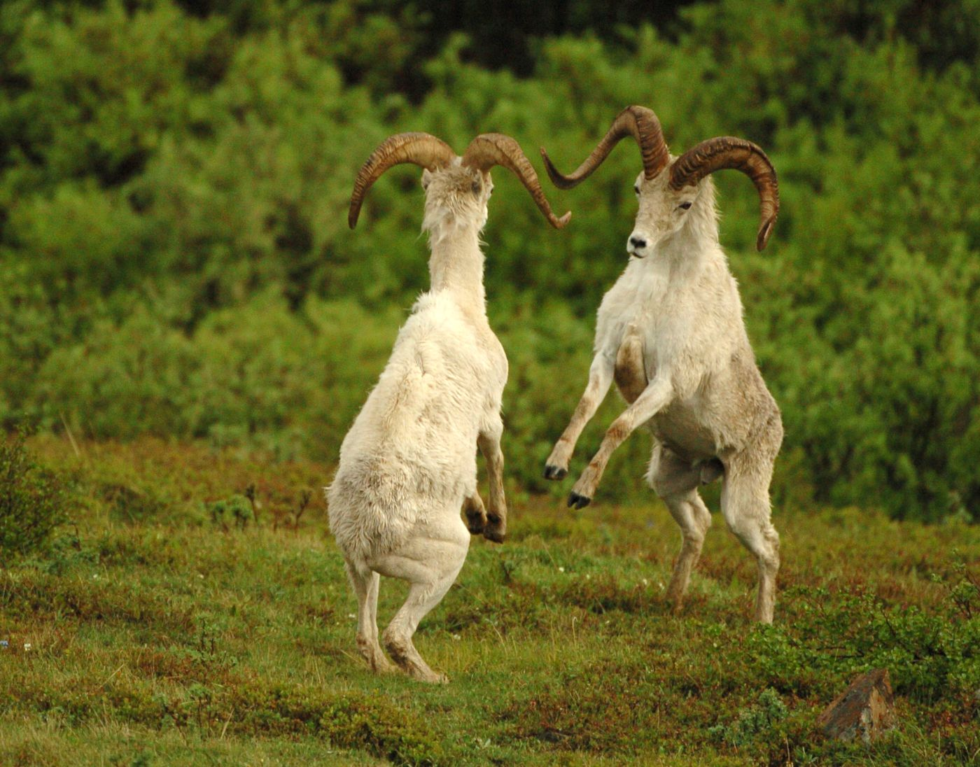 A pair of young Dall sheep rams rear up near Polychrome Pass in Denali National Park. The sheep use the head butts to establish social order. Male Dall sheep travel in groups separate from the females and young until the breeding season. (Bob Hallinen / Alaska Dispatch News)
